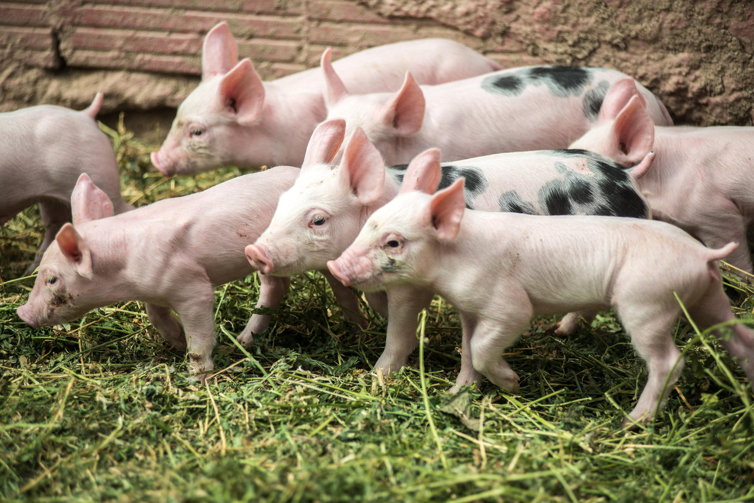 Εξυπνότερα τα γουρούνια από τους σκύλους!
