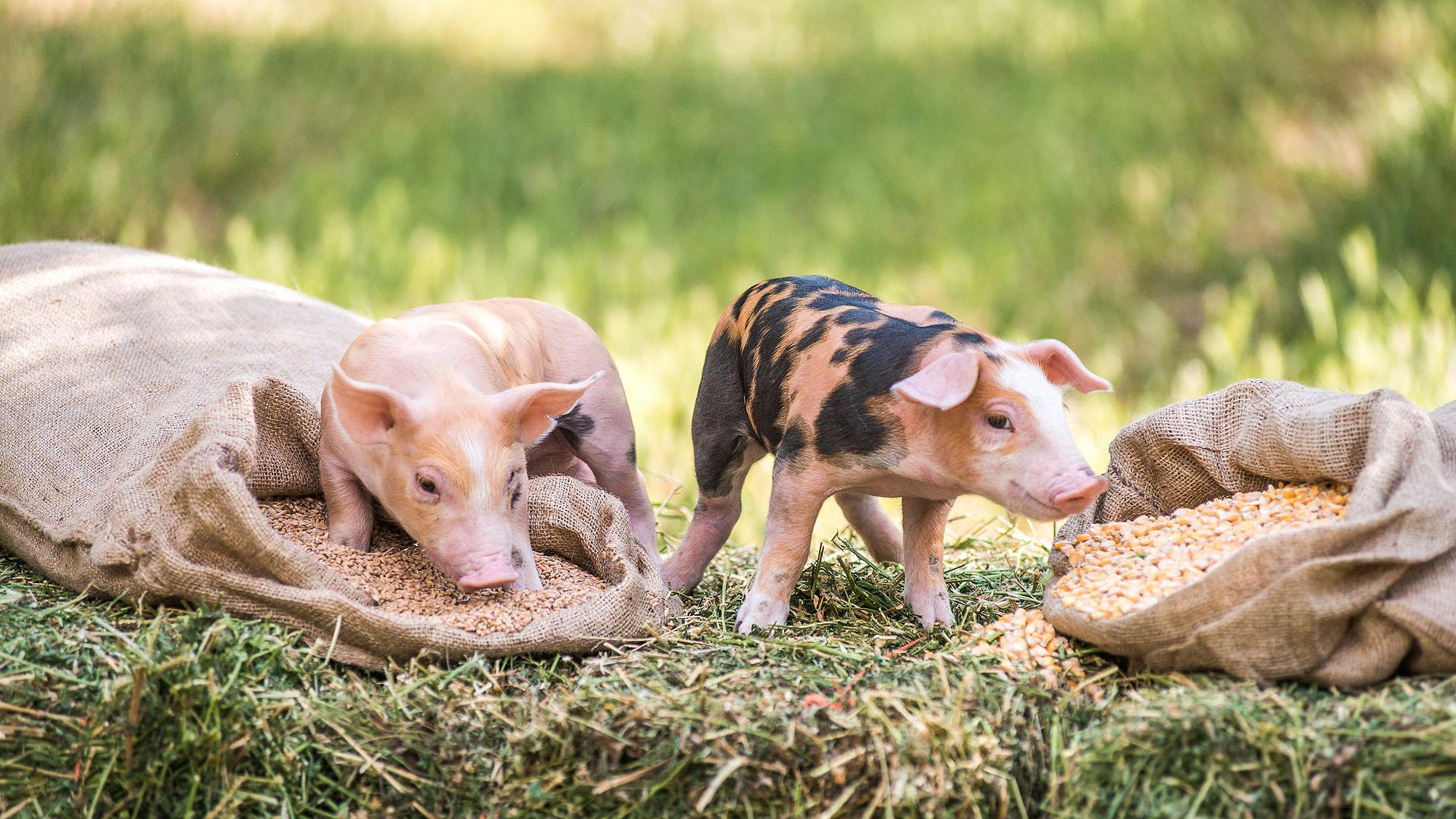Τα γουρούνια αγαπούν τη λάσπη... λόγω εξέλιξης